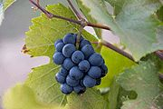 Researchers at the University of California Davis, Dept.of Internal Medicine demonstrated that doses of 150 mg and 300 mg per day of GRAPE SEED EXTRACT  significantly LOWERED BLOOD PRESSURE in patients with metabolic syndrome.