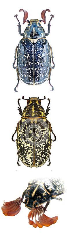 Polyphilla fullo, male, female, and close-up of the antennae
