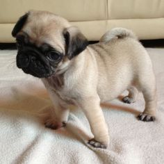 Pug Puppies | ... pug puppies £ 950 posted 7 months ago for sale dogs pug gorgeous pug