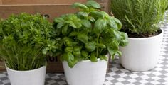Bylinky po zakoupení přesaďte do nového květináče Flora, Herbs, Garden, Plants, Ideas, Garten, Herb, Gardens, Lawn And Garden