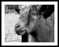 Goat Framed Print featuring the photograph The Goat by Cuiava Laurentiu Poster Prints, Framed Prints, Art Prints, Cool Pictures, Beautiful Pictures, Art Deco Bathroom, Frame Shop, Black Wood, Hanging Wire