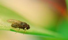 Met de komst van de zomer zijn fruitvliegjes haast niet weg te denken uit de keuken. Maar met deze natuurlijke tips verban je de beestjes uit je fruitmand.