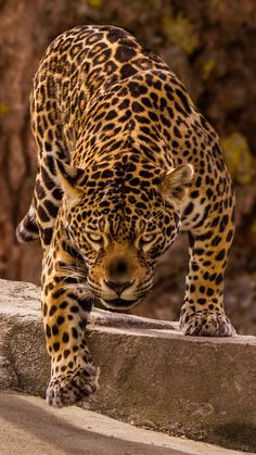 Jaguar, predator, Jungle Animals, Nature Animals, Cute Animals, Beautiful Cats, Animals Beautiful, Wild Animal Wallpaper, Jaguar Wallpaper, Jaguar Pictures, Lion Tigre