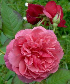 'La Duree' | Hybrid Tea Rose. Bred by Dominique Massad (France, before 2009) | Flickr - © romaneau