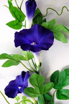 Morning glory: gorgeous invasive pain in the neck. Rare Flowers, Exotic Flowers, Purple Flowers, Beautiful Flowers, My Flower, Flower Power, Morning Glory Flowers, Garden Plants, Planting Flowers