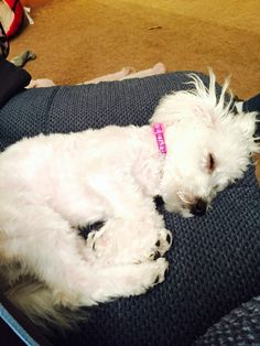 Sleepy baby, Maybe you just need a little poodle, puddles to cheer you up on Valentines Day? D:) Smiley! Cute Little Puppies, Cute Puppies, Cute Dogs, Dogs And Puppies, All Breeds Of Dogs, Dog Breeds, Dog Status, Animals And Pets, Cute Animals
