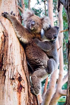 Koalas – Kangaroo Island – South Australia - mum and baby Koala cuddles Beautiful Creatures, Animals Beautiful, Baby Animals, Cute Animals, Kangaroo Island, Australian Animals, Tier Fotos, Pet Birds, Animal Kingdom