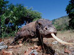Komodo Dragon (Varanus Komodoensis), Komodo National Park, Komodo Island