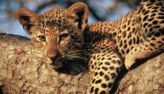 Kruger Park is South Africa's most exciting African safari destination. Here at the home of Africa's Big Five: Elephant, Lion, Rhino, Leopard and Buffalo, you will discover unique wildlife on a real safari in Africa. #krugerinn www.krugernow.com