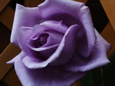 Blue Moon Rose | blue moon rose my wife loves blue moon roses this one sits in the arch ...