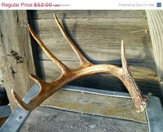Fun SALE Deer Antler Whitetail Natural Shed Gorgeous Showy Specimen Perfect Gift For Office Home Fast Shipping Priority. $32.24, via Etsy.