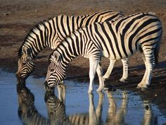 Plains zebras have shiny coats that dissipate over 70% of incoming heat and some scientists believe the stripes help the animal withstand intense solar radiation. Description from africawildtrails.com. I searched for this on bing.com/images