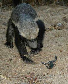 Honey Badger VS Black Scorpion ~ Honey Badger, Free State, Wolverines, Forest Animals, Punisher, Mammals, Lions, Juice, Wildlife