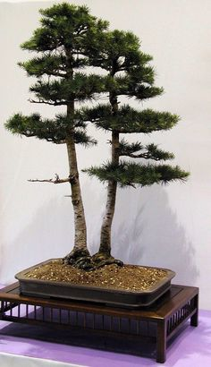 Bonsai... Double Cedar Of Lebanon Bonsai