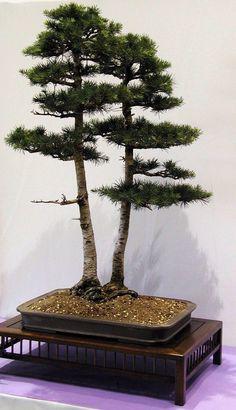 Bonsai... Double Cedar Of Lebanon Bonsai