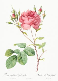 Items similar to Antique Rosa Centifolia Anglica Rubra Redoute French Botanical Art Print 8 x 10 Digital Collage Home Decor Wall Art on Etsy Rose Vintage, Vintage Flowers, Vintage Art, Vintage Botanical Prints, Botanical Drawings, Botanical Flowers, Botanical Art, Illustration Botanique, Illustration Art