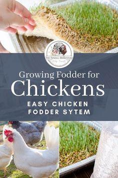 Growing Fodder for Chickens�Chicken Fodder System | Amy K. Fewell Chicken Facts, Chicken Runs, Chicken Ideas, Chicken Garden, Backyard Chicken Coops, Urban Chicken Coop, Raising Backyard Chickens, Keeping Chickens, Urban Chickens