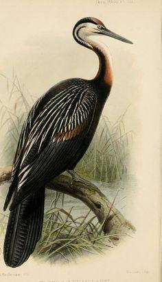 Image result for Calochortus venustus botanical illustration printable
