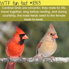 Cardinal birds  WTF fun facts