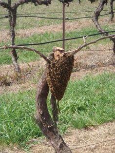 That'll be one sweet wine! Beeswarm at Helm Wines, Murrumbateman, Australia.