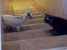 "So cute!! Baby goat playing with kitty cat friend. Pepperjack the goat playing with Macy the cat on the stairs. Background music: ""Kung Fu Fighting"". ;)"