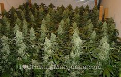 'The Marijuana Grow Room' is where it all happens! Read our complete guide on how to set up a weed grow room and start your cannibis journey today! Growing Weed, Cannabis Growing, Growing Plants, Growing Marijuana Indoor, Growing Veggies, Growing Flowers, Marijuana Plants, Cannabis Plant, Cannabis Oil