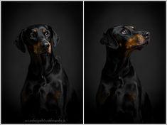 dobermann-im-fotostudio_0005