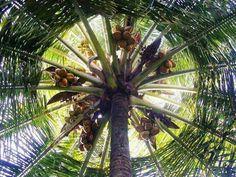 #GodsOwnCountry #Kerala #Coconuts