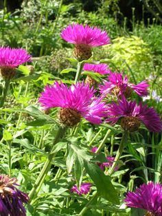 CENTAUREA dealbata - Knopurt, farve: lys magenta, lysforhold: sol, højde: 80 cm, blomstring: juni - august, god til bier og andre insekter.