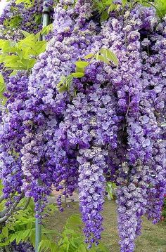 Fragrant Wisteria - Thick clusters of Wisteria flower buds signal the arrival of spring. I want some!