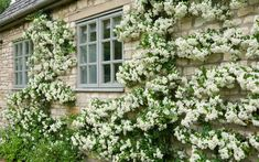 A wall covered by a spectacular Pyracantha 'Soleil d'Or'