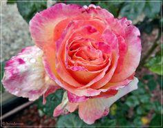 Roseto - Parco San Giovanni - Rosa Vedette | Flickr – Condivisione di foto!