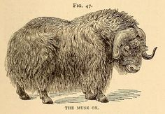 """Fig. 47. """"The musk ox."""" American types of animal life. 1894."""
