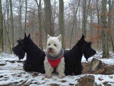 Looks like the Scotties are protecting the Westie!
