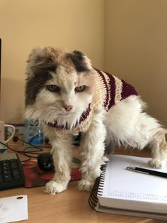 Hey guys this is my 19 year old office cat her name is Voldetort. She lost hear ears to cancer and sometimes she gets cold but we love her so much. #aww #cute #cutecats #catsofpinterest #cuddle #fluffy #animals #pets #bestfriend #boopthesnoot