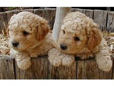 Australian Labroodles - my favorite breed