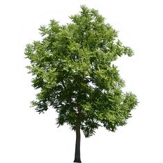 This is a robinia pseudoacacia with the background removed. More commonly this tree is called a black locust.