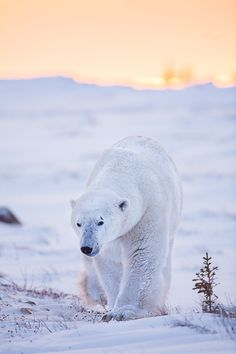 Get moving...the warrior is coming through. This scar ridden old champ strolls towards the Hudson Bay leaving the setting sun behind him. Photo © copyright by Lance Carter. #photography #fineart #wilderness #polar #bear