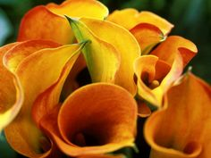 Calla Lily Photographic Print by Fiona Mcleod Pictures Of Calla Lilies, Calla Lily Flowers, Calla Lillies, Colorful Flowers, Beautiful Flowers, Flower Colors, Warm Color Schemes, Strange Flowers, Love Lily