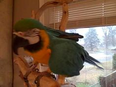 Macaw laughing it up. This is sure to bring a smile to your face! Hysterical!