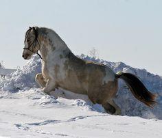 Dapple buckskin pinto gypsy vanner horse