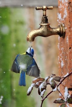 Amazing how these beautiful birds can find water if they need it, even if it is from a faucet! #bird #animal I'd love to have a bird bath for them in my yard.