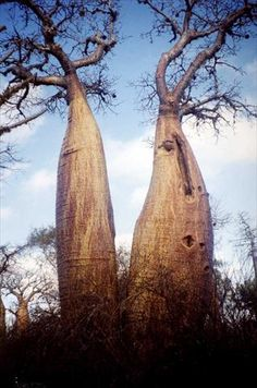Baobab trees. Madagascar. The tree on the right has a funny face!