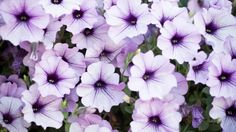 How To Keep Your Wave Petunias Blooming And Booming! - How To Keep Your Wave Petunias Blooming And Booming! Petunia Care, Petunia Plant, Petunia Flower, Petunia Tattoo, Annual Flowers, Big Flowers, Summer Flowers, Container Flowers, Container Plants