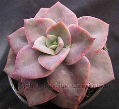 The Succulent Garden nursery:: Succulents :: Graptoveria