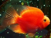 1000 images about fish and fishtanks on pinterest for Parrot fish freshwater