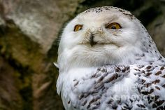 Snowy Owl Portrait - photograph by Sabine Edrissi. Fine art prints and posters for sale. #snowyowl #wildlifephotography #sabineedrissi