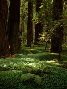 Parque Nacional e Estadual das Sequoias, estado da Califórnia, USA. Gigantes coníferas com casca fibrosa espessa, nativas da Califórnia e Oregon. Elas são as mais altas árvores conhecidas e estão entre os maiores organismos vivos. http://beautyharmonylife.com/12-photos-of-beautiful-nature/