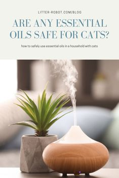 """The potential danger that comes with introducing essential oils and cats is nothing to """"sniff"""" at. So, are there any essential oils safe for cats? Litter Robot, Oil Safe, Are Essential Oils Safe, Cat Makeup, Cat Friendly Home, Pet Care, Essentials, Cats, Silver Bangles"""