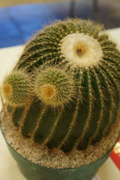 Notocactus schumanniana
